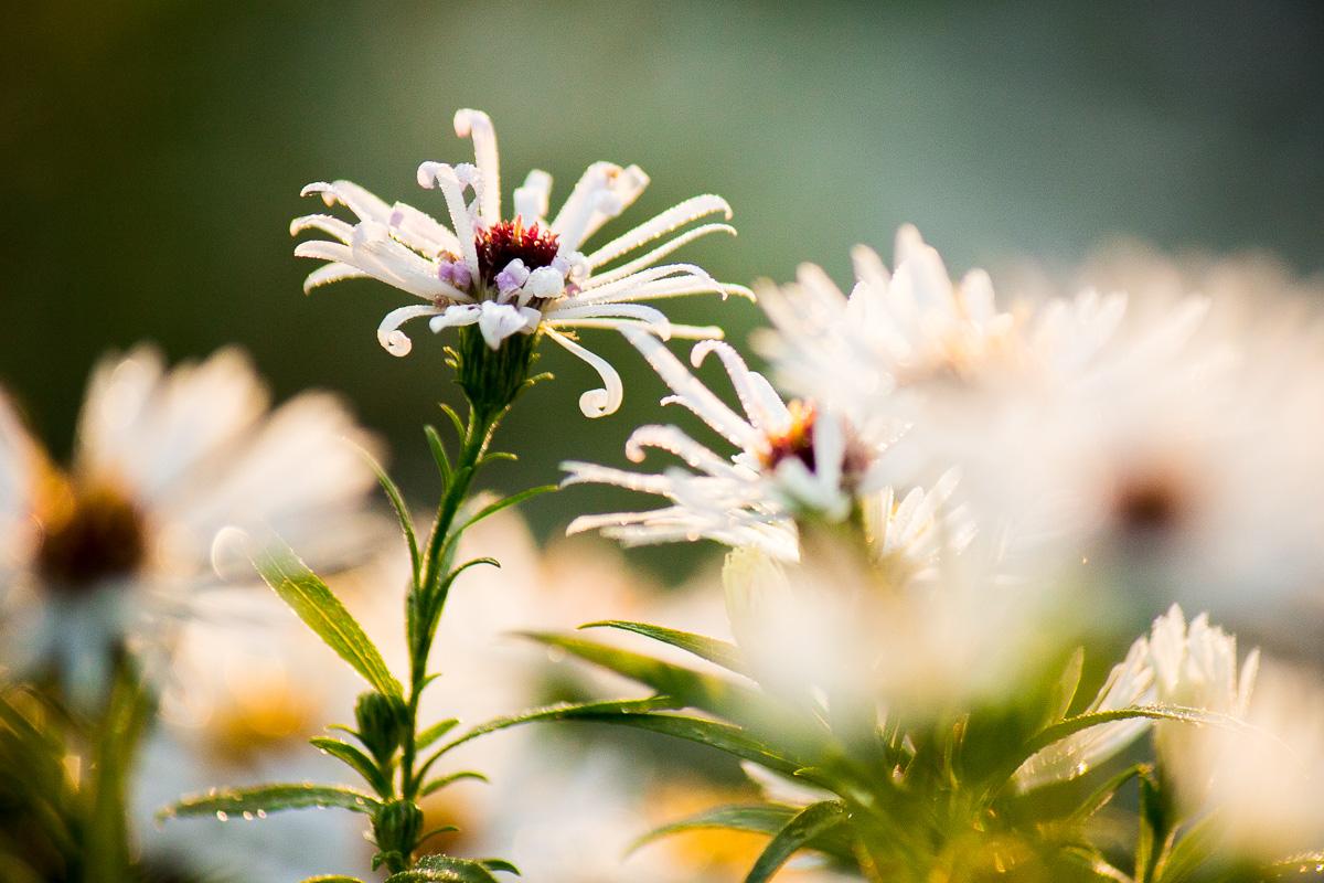 Kvetina makro