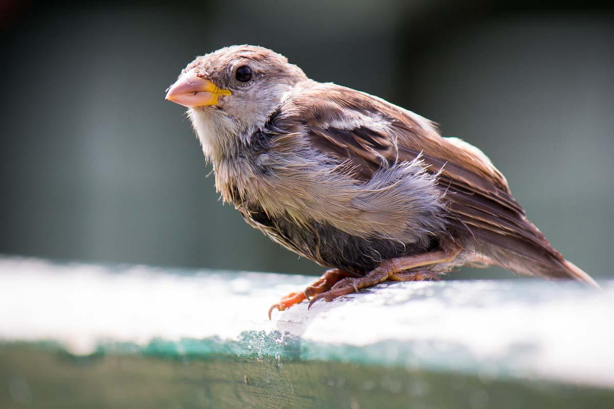Spatz - Urban Birdlife